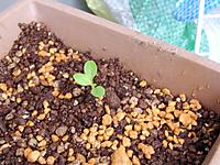 以前植えたサラダ菜の写真