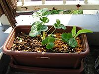いちごとポリジを植えた写真