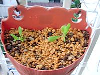 2回目の定植したサラダ菜の写真