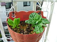 サラダ菜の写真