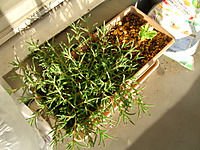 松葉菊とサラダ菜の写真