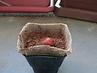 アボカドの種を植えた写真