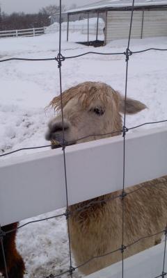 雪のあるぱかファーム